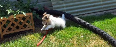 Segen the Wire Fox Terrier Pictures 917355