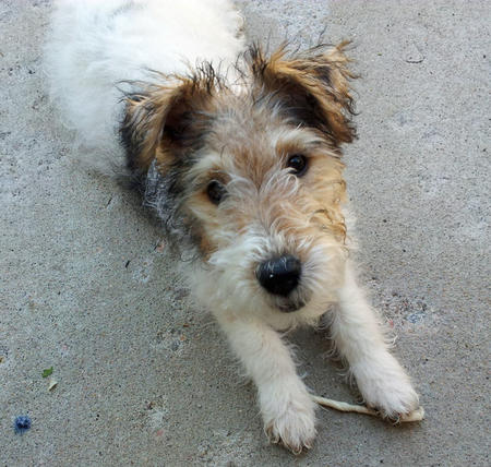 Segen the Wire Fox Terrier Pictures 917357