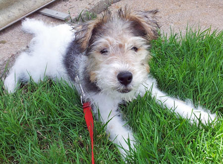 Segen the Wire Fox Terrier Pictures 917359