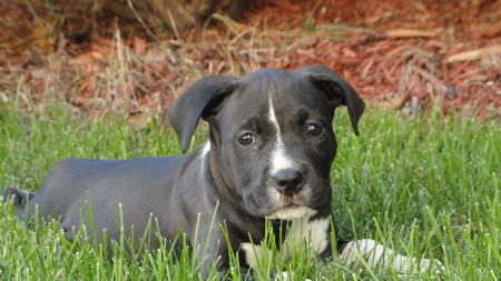 Serena the American Pit Bull Terrier Pictures 1059212