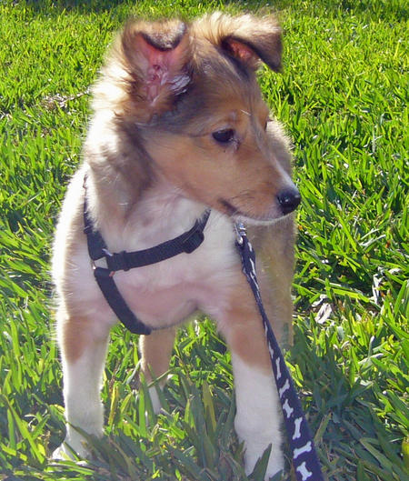 Sergeant the Shetland Sheepdog Pictures 767177