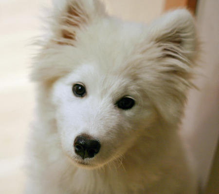 Sesame the Samoyed Pictures 797054