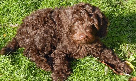 Shabazi the Labradoodle Pictures 849111