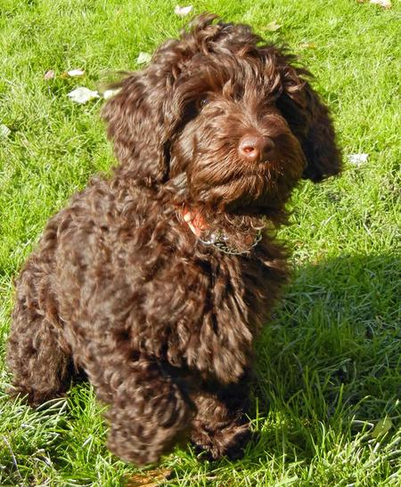 Shabazi the Labradoodle Pictures 849112