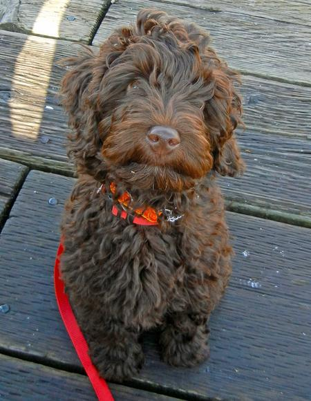 Shabazi the Labradoodle Pictures 849113