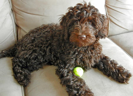 Shabazi the Labradoodle Pictures 849115