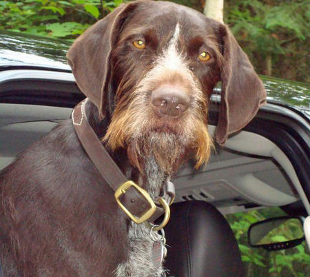 Shane the German Wirehaired Pointer Pictures 964800