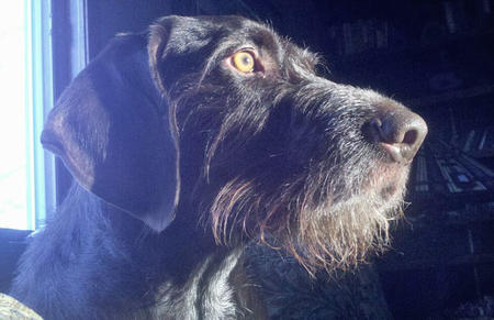 Shane the German Wirehaired Pointer Pictures 964798