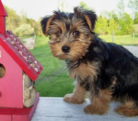 Shayla the Yorkshire Terrier Pictures 541736