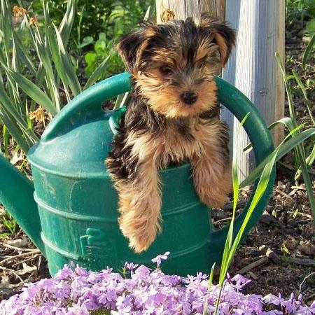 Shayla the Yorkshire Terrier Pictures 541738