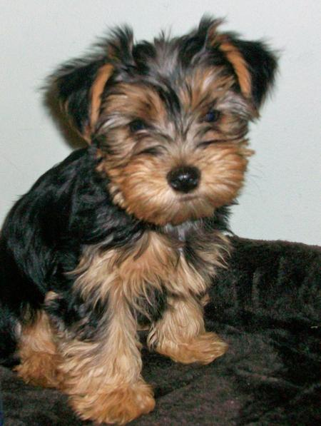 Shayla the Yorkshire Terrier Pictures 541734