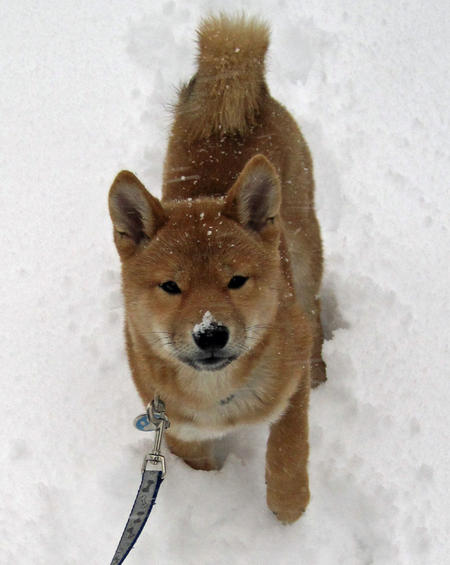 Shea the Shiba Inu Pictures 537853
