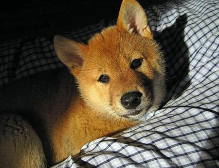 Shea the Shiba Inu Pictures 537851