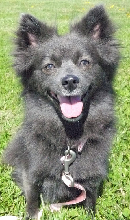 Sheba the Pomeranian Pictures 1041759