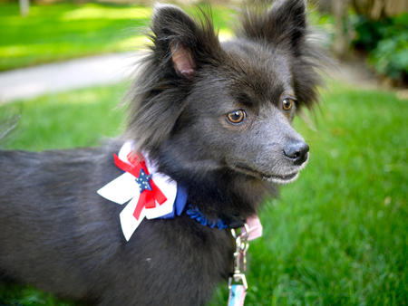 Sheba the Pomeranian Pictures 1041762