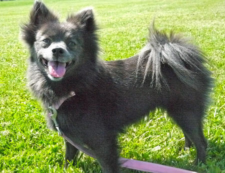 Sheba the Pomeranian Pictures 1041763
