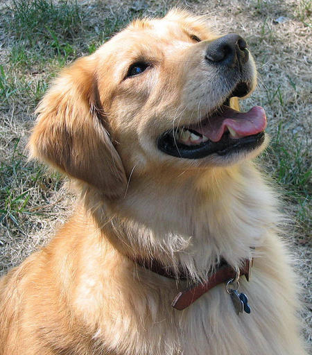Shelby the Golden Retriever Pictures 925397