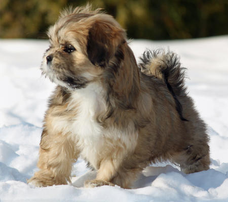 shelby the lhasa apso 1 40584 2010 01 19 w450 Lhasa apsos cute long ...