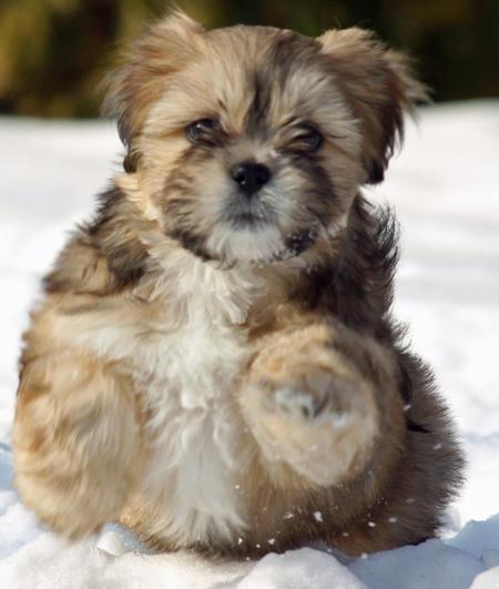 Apso Puppy At Christmas 656136 Wallpaper Desktop Puppies