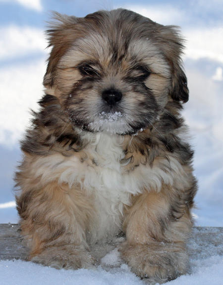 Shelby the Lhasa Apso Pictures 514823