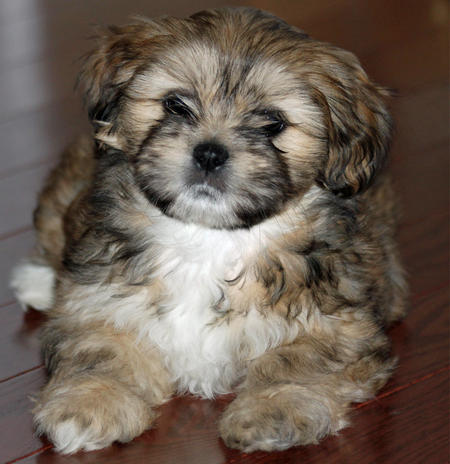Shelby the Lhasa Apso Pictures 514824