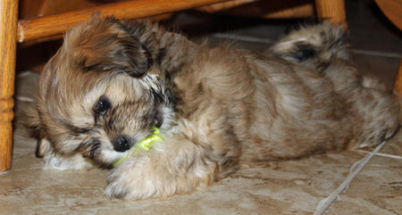 Shelby the Lhasa Apso Pictures 514827