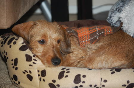 Sherlock the Wirehaired Dachshund Pictures 552183