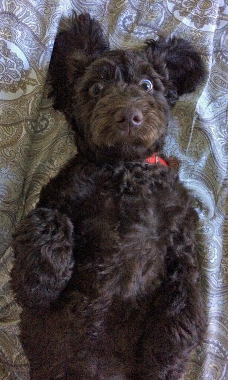 Shesco the Poodle Mix Pictures 1044248