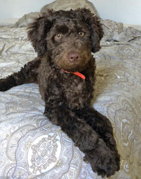 Shesco the Poodle Mix Pictures 1044250