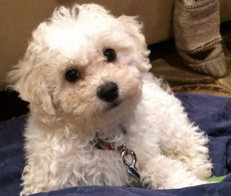 Shilo the Bichon Frise Pictures 1003782