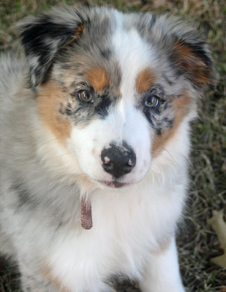 Shiloh the Australian Shepherd Pictures 820174