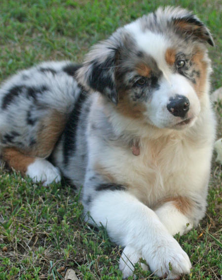 Shiloh the Australian Shepherd Pictures 820175