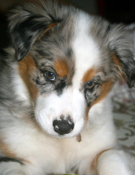 Shiloh the Australian Shepherd Pictures 820176