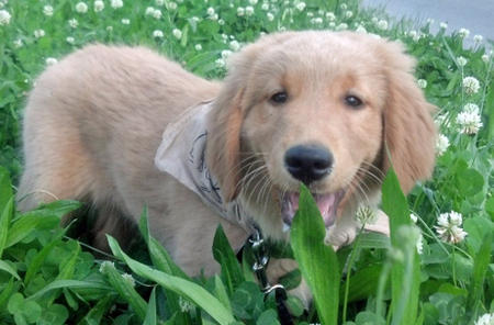 Shiner the Golden Retriever Pictures 1038388