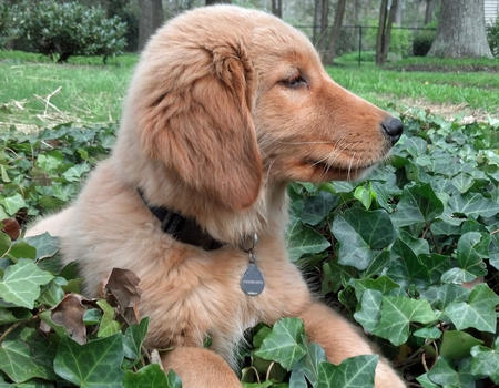 Shiner the Golden Retriever Pictures 1038390