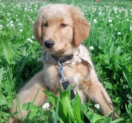 Shiner the Golden Retriever Pictures 1038391
