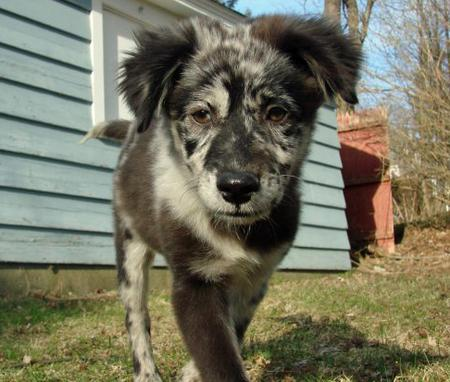 Shyla the Australian Shepherd Mix Pictures 410388