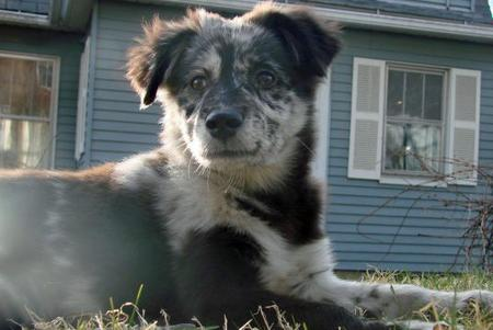 Shyla the Australian Shepherd Mix Pictures 410389