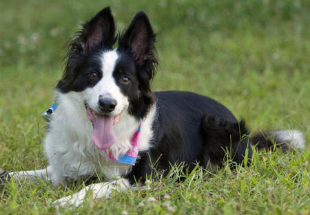 Sienna the Border Collie Pictures 1052696