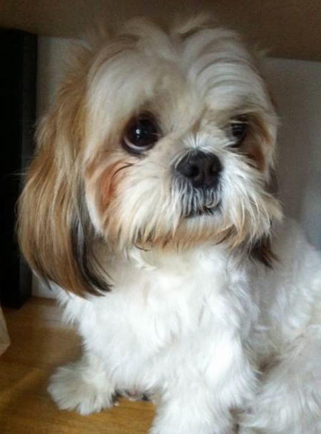 Siew Mei the Shih Tzu Pictures 918801