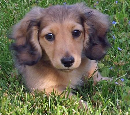 Silas the Dachshund Pictures 586904