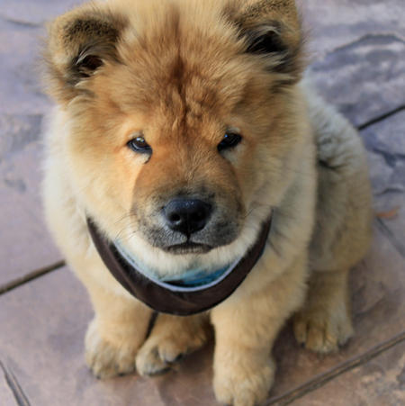 Simba the Chow Chow Pictures 571272