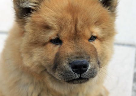 Simba the Chow Chow Pictures 571276