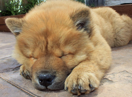 chow chow puppy stomach ache
