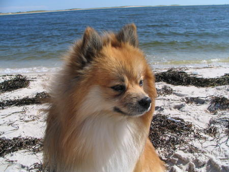 Simba the Pomeranian Pictures 815807