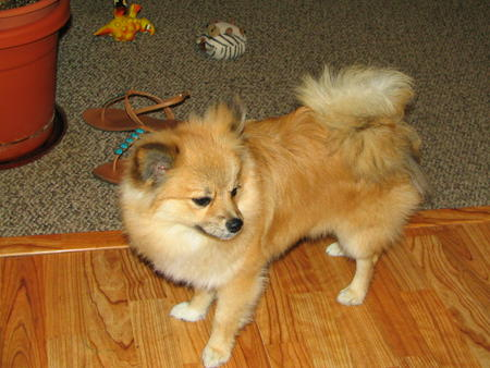 Simba the Pomeranian Pictures 815808
