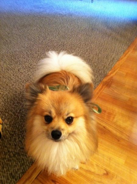 Simba the Pomeranian Pictures 815810