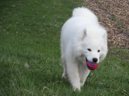 Simba the Samoyed Pictures 969131