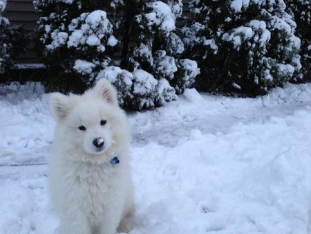 Simba the Samoyed Pictures 969135