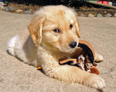 Simon the Golden Retriever  Pictures 979659
